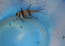 Chov a odchov Parmovce skvělého – Pterapogon kauderni
