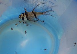Chov a odchov Parmovce skvělého - Pterapogon kauderni