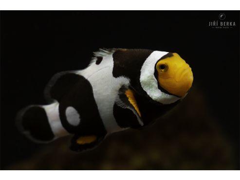 Amphyprion percula onyx