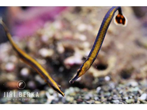 Doryrhamphus melanopleura