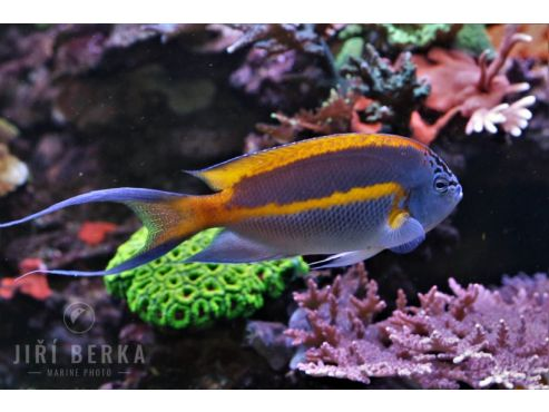 Genicanthus bellus male