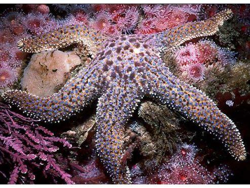california-giant-sea-star.jpg