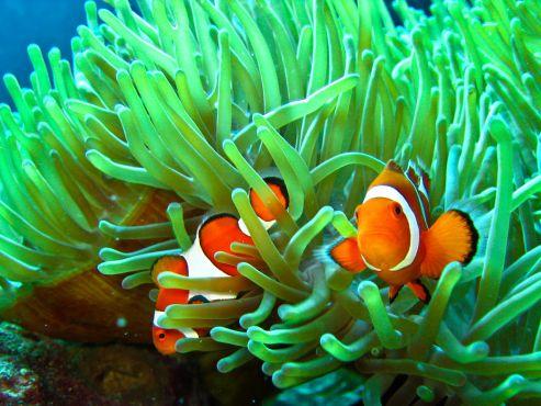 clownfish-and-sea-anemone-wallpaper-4.jpg