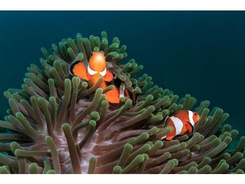 clownfish-sea-anemone-581b994d3df78cc2e879cc71.jpg