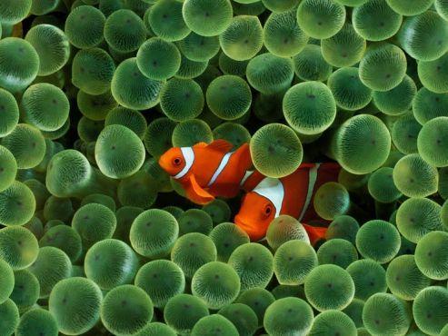 nemo-and-sea-anemone-wallpaper-2.jpg