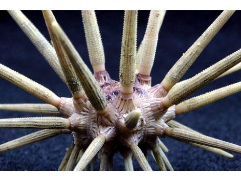 pencil-urchin-139403-340.jpg