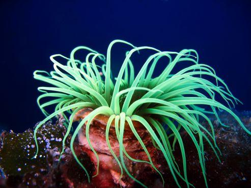 sea-anemone-shutterstock-21850051.jpg