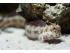 Blenniella chrysospilos - slizoun červenoskvrnný