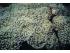 "Euphyllia paradivisa ""green tip"" - turbinatka  rozdělená"