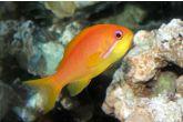 """Pseudanthias squamipinnis """"female"""" - bradáč šupinoploutvý"""