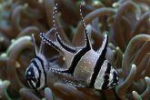 "Pterapogon kauderni  - parmovec skvělý ""odchov"""
