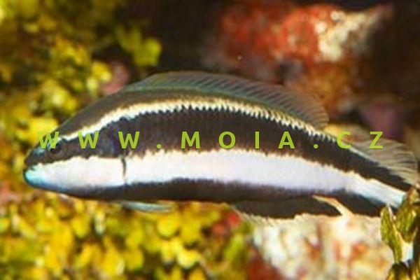 Pseudochromis sankeyi  - sapínovec sankeyův