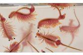 Artemie premium - žábronožka solná zmrazená, 500g