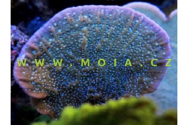 """Montipora mactanensis  """"Purle Rim Cap"""" – montipóra kalichovitá"""