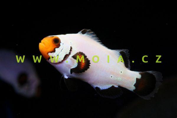 "Amphiprion ocellaris var. ""Flurry"" - klaun očkatý"