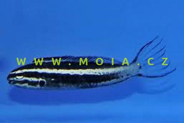 Meiacanthus kamoharai – slizoun   Kamoharaův