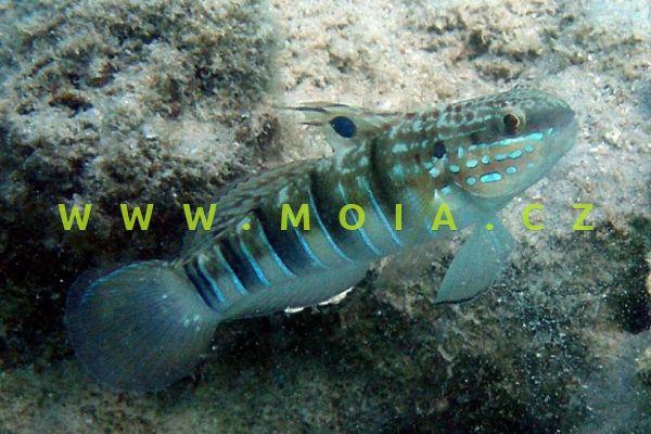 Amblygobius phalaena  - hlaváč hnědopruhý