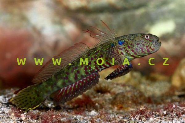 Cristatogobius gobioides – hlaváč  hrouzkovitý