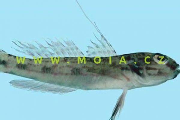 Acentrogobius nebulosus  - hlaváč podmračený