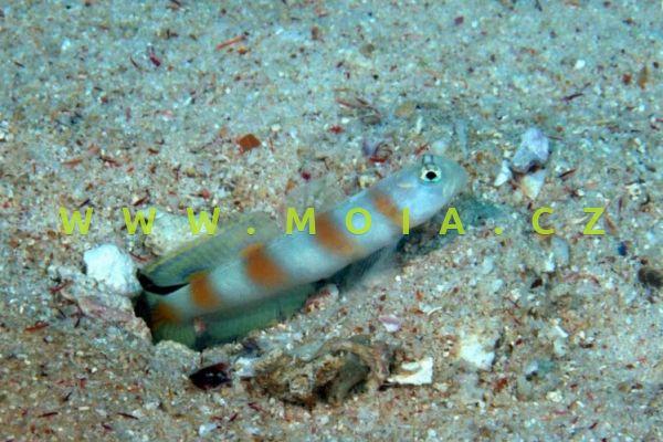 Amblyeleotris yanoi   - hlaváč vlajkoocasý