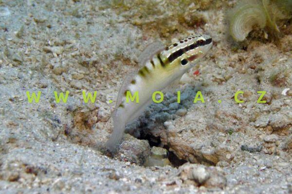 Amblygobius bynoensis    -   hlaváč Byoeův