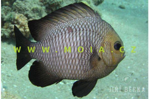 Dascyllus trimaculatus – komorník třískvrnný