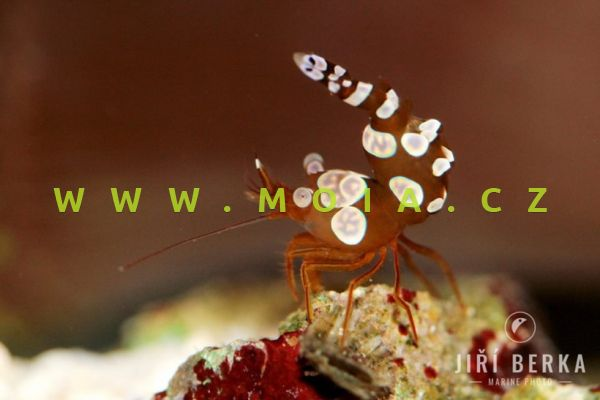 Thor amboinensis -   kreveta smyslná