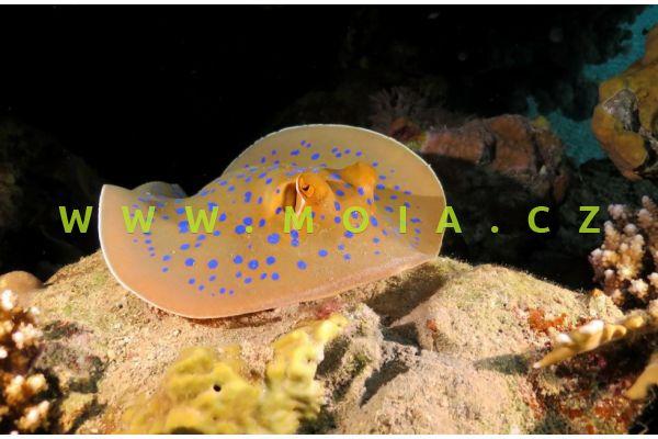 Taeniura lymna  - trnucha modroskvrnná
