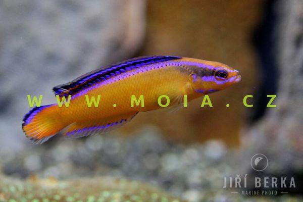 Pseudochromis aldabraensis  - sapínovec aldaberský