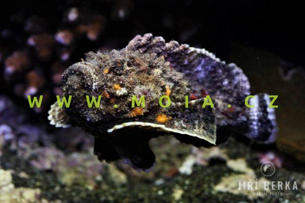 Synanceia verrucosa   - odranec pravý