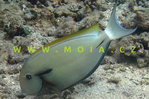 Acanthurus nigricauda  - bodlok nárameníkový