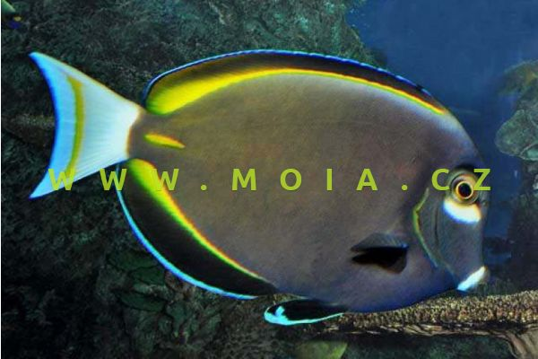 Acanthurus nigricans  – bodlok zlatolemý