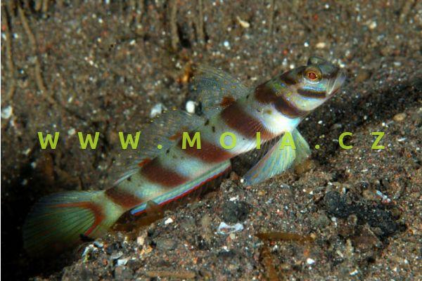 Amblyeleotris diagonalis  - hlaváč    příčný