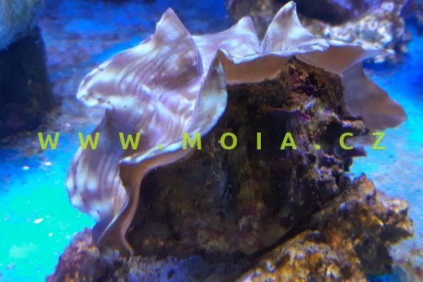 Tridacna squamosa 8-10cm – zéva šupinatá