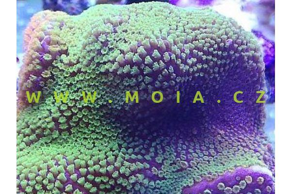 """Montipora sp. """"DickMan green""""- montipóra"""