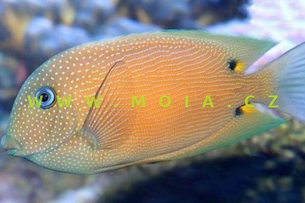 Ctenochaetus binotatus – bodlok dvouskvrnný