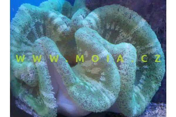 Stichodactyla haddoni  – sasanka kobercová