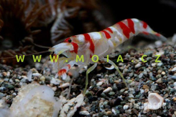 Alpheus randalli - kreveta Randallova