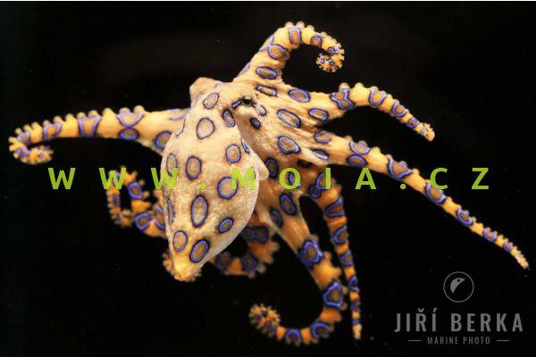Hapalochlaena lunulata  - chobotnice kroužkovaná