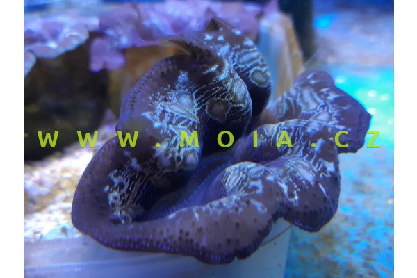 Tridacna crocea 6-8 cm – zéva útesová