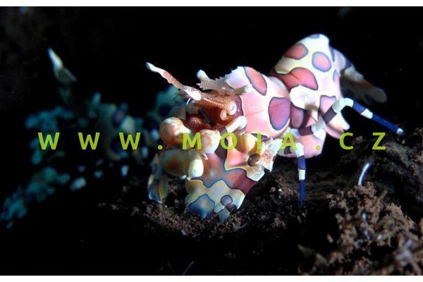 Hymenocera picta  - krevetka   malovaná