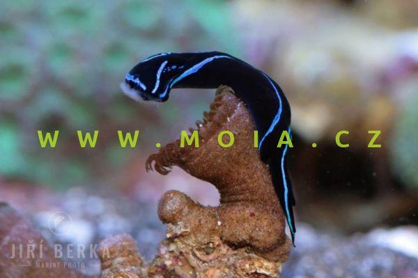Chelidonura varians - chelinodura modrosametová