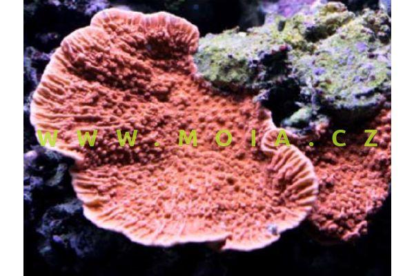 "Montipora capricornis ""orange/red"" - montipóra  písčitá"