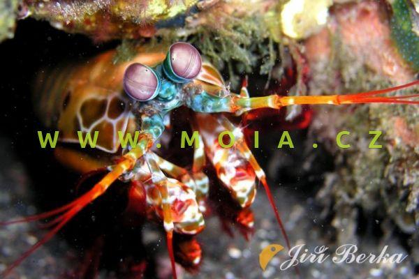 Odontodactylus scyllarus – strašek paví