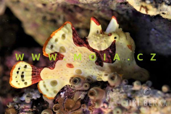 Antennarius maculatus - rozednatec skvrnitý