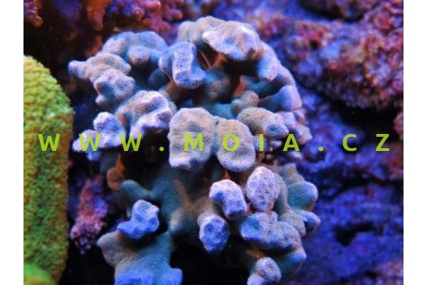 Pavona danai  – houbovník   Danaův