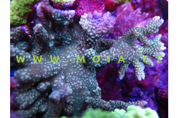 Montipora capitata  – montipóra   hlavatá