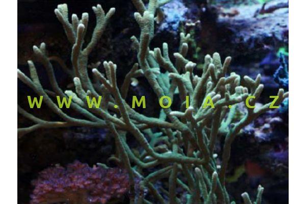 "Montipora samarensis ""green"" – montipóra samarská"