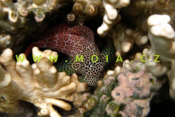 Exallias brevis  – slizoun leopardí