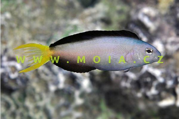 Meiacanthus mossambicus – slizoun mozambický